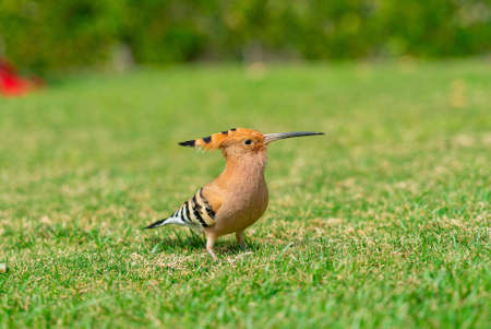 Huppe fasciée Upupa epops se nourrissant d'une pelouse verte en Egypte. Belle petite caméra facong oiseau en flou artistique