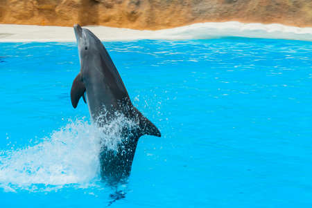 Dolphin swim above blue water with his fin. Closeup of dolphin. Intelligent mammal in the pool. Bottlenose dolphin.
