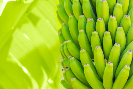 Grenn bananas on a palm. Cultivation of fruits on Tenerife island plantation. Young unripe banana with a palm leaves in shallow depth of field. Closeup Фото со стока