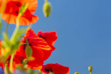 Closeup of poppy flowers. Papaver rhoeas with shallow depth of field on a sunny summer day. With a blue sky on background