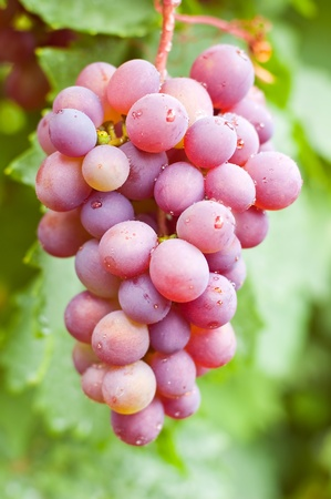 Grapes cluster in the open air hanging on a branch photo