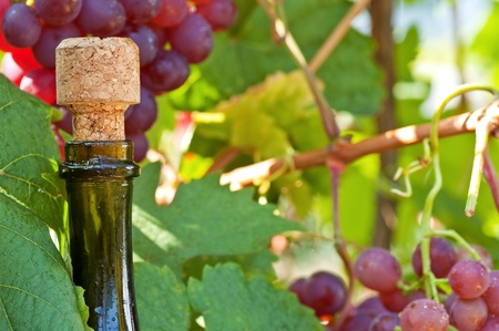 epicurean: Bottle of ripe wine with a stopper close up against grapes Stock Photo