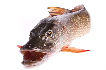 Crude, fresh fish (pike), close up on a white background