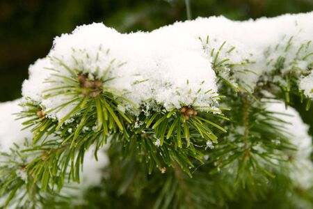 Snow on the branches of a fir tree. photo