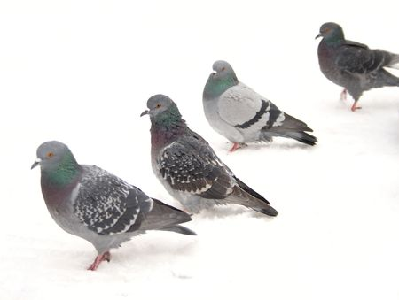 Group of pigeons on snow. photo