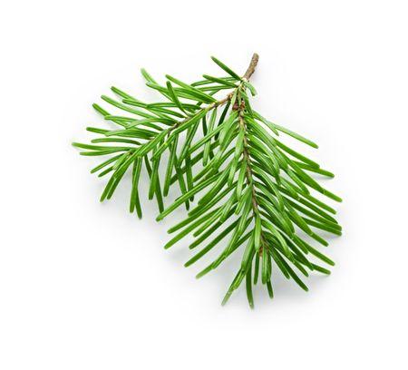 sapins: Branche de sapin isol� sur blanc