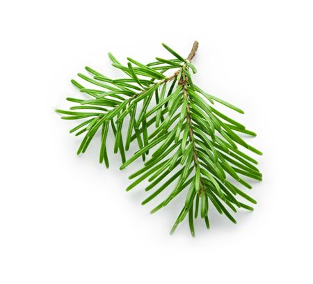 twig: Fir tree branch isolated on white