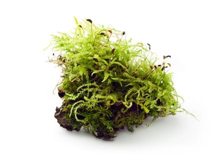 Moss isolated on the white background photo