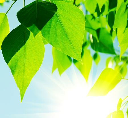 Green leaves with sun ray photo