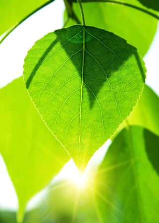 Green leaves with sun ray Stock Photo - 7078690