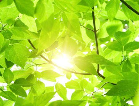 hojas de arbol: Hojas de color verde
