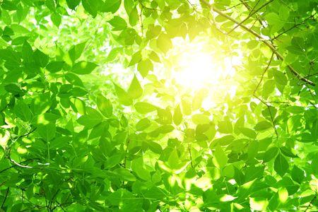 young leaf: Hojas verdes Foto de archivo
