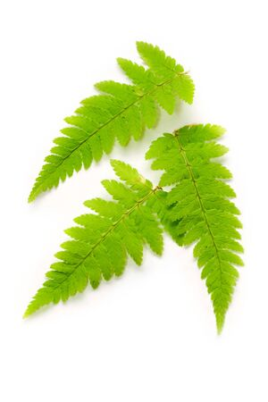 Fern isolated on white photo