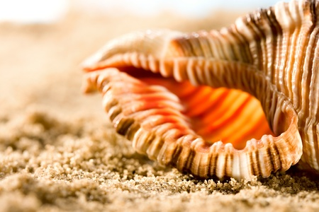 Seashell in sand photo