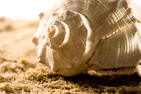 macro animals: Seashell in sand