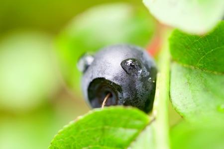 bilberry: Bilberry bush Stock Photo