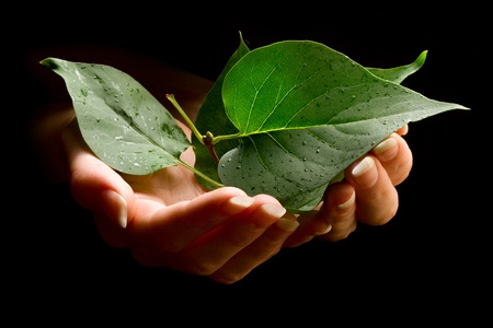 Hands holding leafs Stock Photo - 10681725
