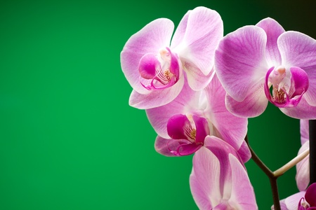 Lilac orchids on a green background Stock Photo - 11394806