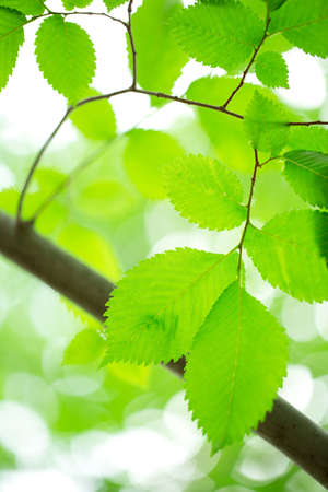 Young green leaves in summer morning photo