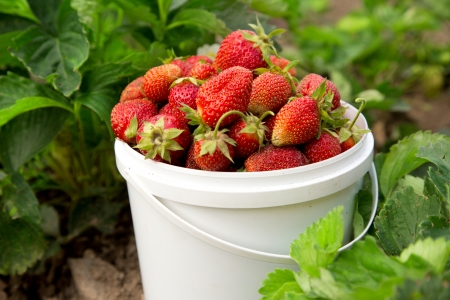 Ripe strawberry in basket on grass Stock Photo - 14354069