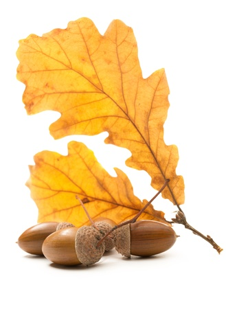 Fresh acorn with dried leaves photo