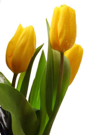 Three yellow spring tulips photo