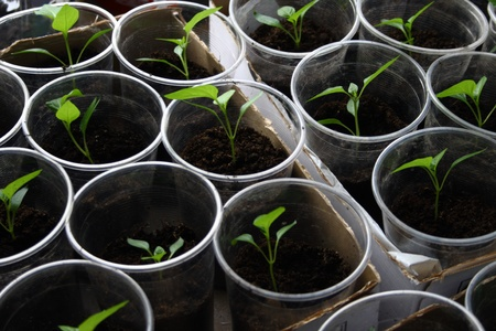 Green seedling growing out of soil Stock Photo - 18840388