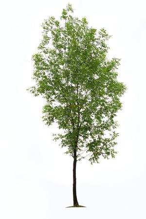 ash tree: Verde albero di cenere su sfondo bianco