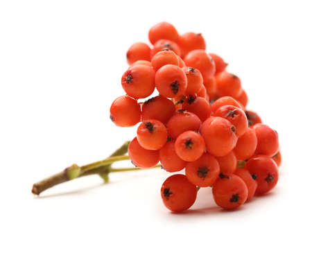 ashberry: Red ashberry bunch on white Stock Photo