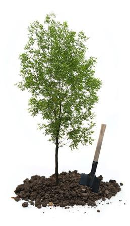 ash tree: Frassino verde con una pala