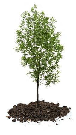 ash tree: Albero verde cenere su sfondo bianco Archivio Fotografico