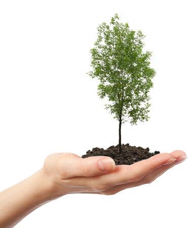 ash tree: Albero verde di cenere in mano su bianco Archivio Fotografico