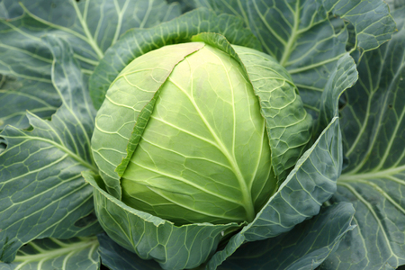 Young green head of cabbage photo