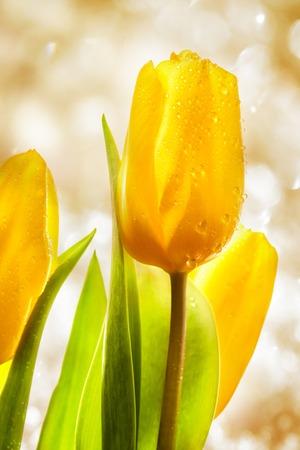 Three yellow spring tulips on sparkle background photo