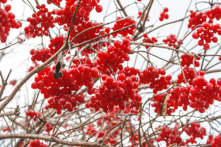roses and blood: Viburnum berries in autumn on sky background