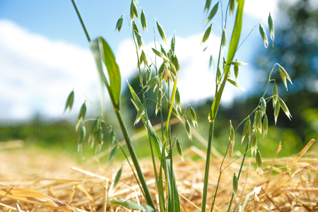 beveled: Oats field of green reeds and beveled ones Stock Photo