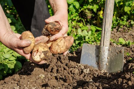 clod: Digging up fresh potatoes with shovel outdoors