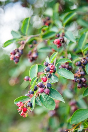 prevalent: Green twig of irga with ripe berries