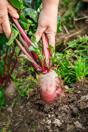 dragging: Female hand dragging young beetroot out of soil