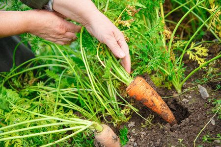dragging: Female hand dragging young carrot out of soil Stock Photo