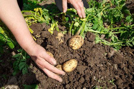 clod: Digging up fresh potatoes with shovel outdoors