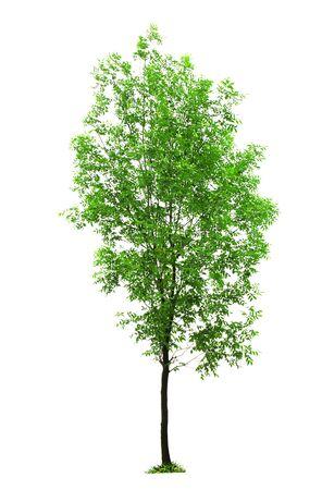 ash tree: Green ash tree on the white background Stock Photo