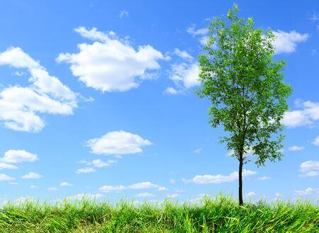 ash tree: Green ash tree on blue sky background