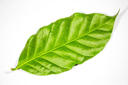 reverse: Coffee leaf on white background, reverse side