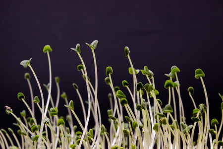 Sprouted seeds of salvia on a dark background. Chia seed lets. Stock Photo