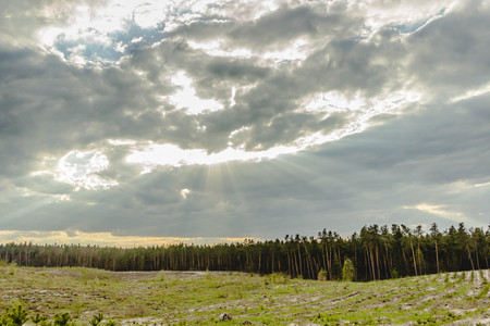 View of the young pine forest. The place of cutting and planting of young pines.