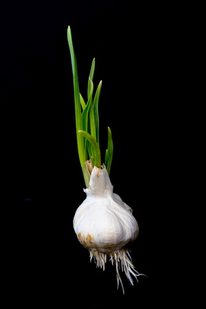 Germinated garlic with green leaves and white roots isolated on black background. Winter garlic sprouted. Fresh seasoning to the dish
