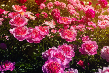 Beautiful and charming peonies on a warm summer day in the park, with warm rays from the sun. Floral background. Imagens