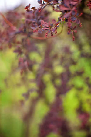 claret: Branch of a spring tree with claret flowers and leaves close up Stock Photo