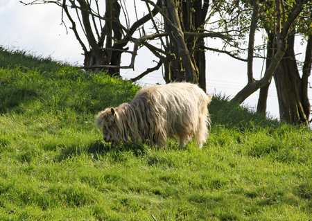 A long haired sheep grazes on lush green grass.